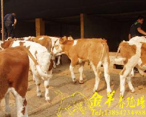 铜川市小牛犊的价格
