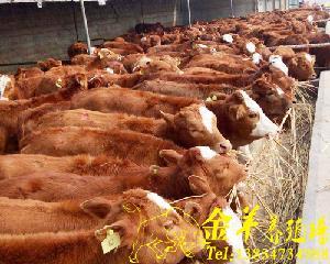 哪里买西门达尔牛种牛