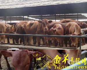 汉中市牛犊价格