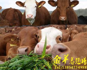 哪种牛长得更快