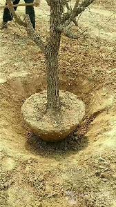 带土球枣树苗基地供应货源充足