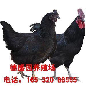 五黑一绿鸡鸡苗批发 五黑鸡苗多少钱一只