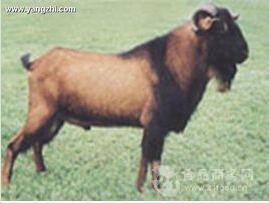 红鹿奶山羊价格