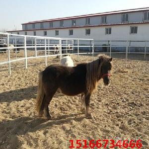 哪里有卖矮马的 矮马养殖场