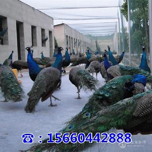 附近卖孔雀的地方哪里有孔雀养殖场