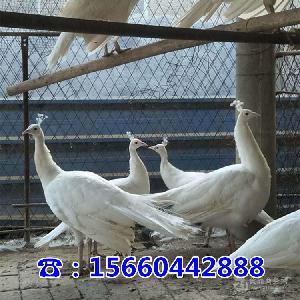 附近养殖孔雀的地方孔雀哪里有出售的