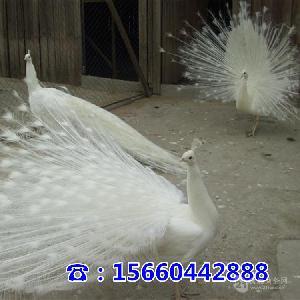 孔雀养殖的地方孔雀在哪能买到