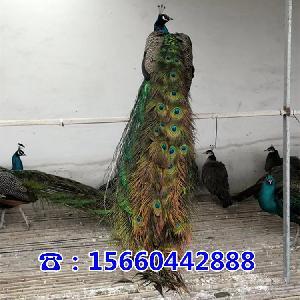 卖孔雀的地方什么地方有孔雀养殖场
