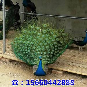 附近卖孔雀的地方什么地方有卖孔雀的