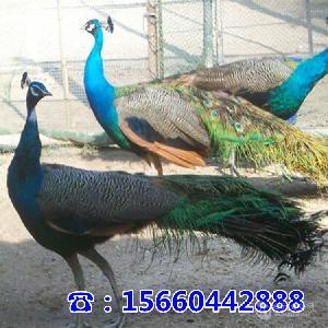 附近卖孔雀的地方孔雀哪里有卖的