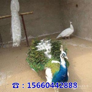 附近养殖孔雀的地方哪里大量出售孔雀