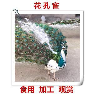 孔雀养殖的地方哪里大量出售孔雀