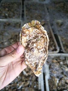 溫州生蠔 鮮活牡蠣產地直銷