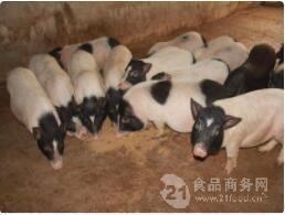 山东哪里出售正宗巴马小香猪活体小香猪价格包运输