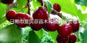 丹東櫻桃批發,丹東含香大櫻桃價格,質優價廉
