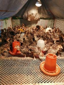 山东哪里的火鸡苗便宜一只火鸡的利润是多少火鸡吃什么饲料
