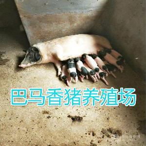 常年出售巴马香猪烤乳猪小猪崽