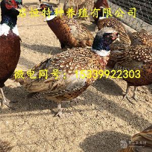 七彩山雞價格 全國發貨 包郵包活