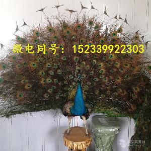 孔雀标本价格 全国发货 包邮包活