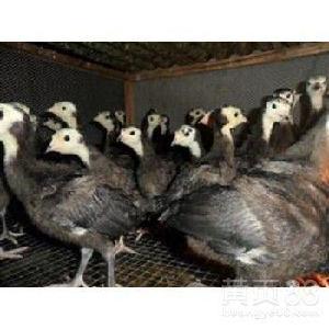 直銷火雞苗活體脫溫火雞苗出售全國可發貨