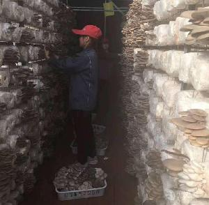 高温平菇菌棒青岛厂家直销免费技术指导无公害产地