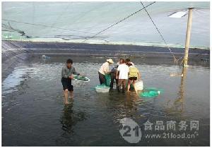 南美白對蝦淡水養殖蝦基地