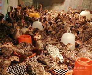 供應脫溫火雞苗成年大火雞的養殖基地在哪里火雞活體全國發貨