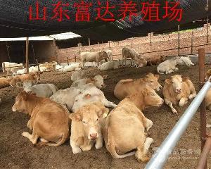 四川黄牛母牛犊
