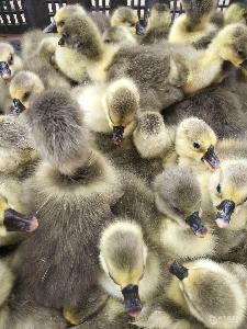 山东金鑫养殖场大量出售脱温鹅苗  狮头鹅目前价格