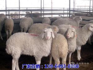 現在小尾寒羊市場報價