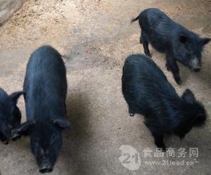 純種小黑豬價格  香豬種豬  野豬