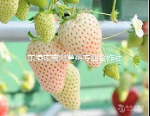 遼寧草莓基地,草莓批發,有機草莓,質優價廉