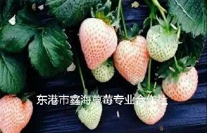 大連草莓批發,丹東草莓價格,紅顏草莓,質優價廉