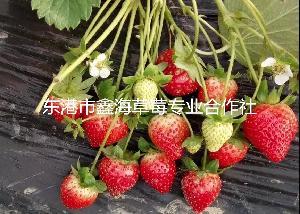 山東草莓批發,山東草莓價格,紅顏草莓,質優價廉