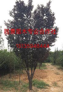 粗度10-12公分红叶李·粗度13公分红叶李价格供应