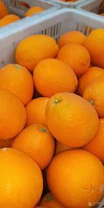 湖北夏橙產地批發銷售