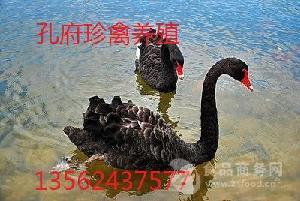 河北邯郸哪里卖黑天鹅多少钱一只出售