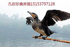 现在哪里还有养殖鱼鹰鸬鹚卖的
