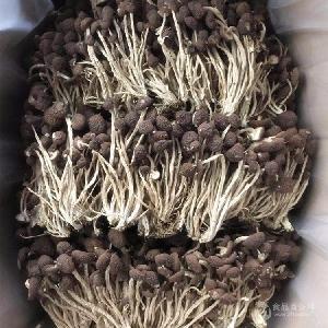 君志廣昌5號茶樹菇干貨產地批發一手貨源
