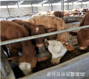 肉牛价格利润市场分析 肉牛犊