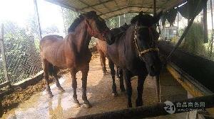小矮马品种及纯血马