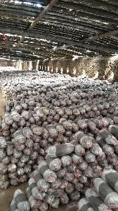 山东灵芝菌种 灵芝菌包 灵芝菌棒供应