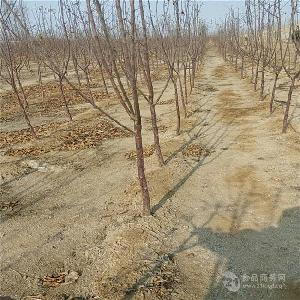 微风苹果树苗哪里出售-嫁接苹果树苗哪里有-1公分苹果苗