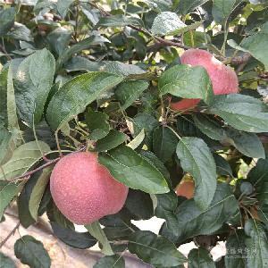 蜜脆苹果树苗哪里出售-哪里有晚熟苹果树苗、3-5公分苹果树