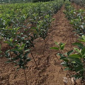 鲁丽苹果树苗基地价格-哪里卖晚熟苹果树苗、3-5公分苹果树