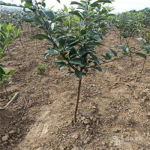 魔笛蘋果樹苗出售-批發新品種蘋果樹苗、1公分蘋果苗
