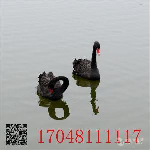 黑天鵝價格成年黑天鵝