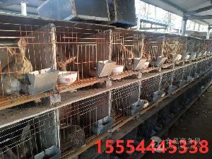 杂交野兔养殖场野兔价格出售野兔