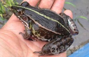 农民教怎么来养青蛙