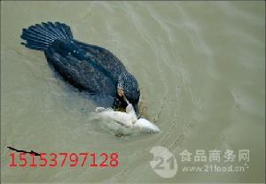 会扑鱼的鱼鹰鸬鹚多少钱一只周边哪里有卖鱼鹰鸬鹚的
